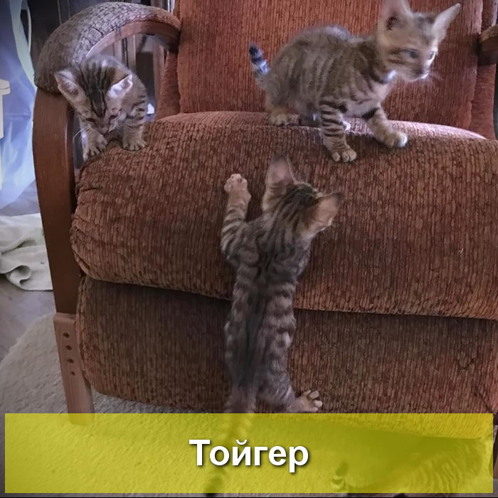 котята породы тойгер