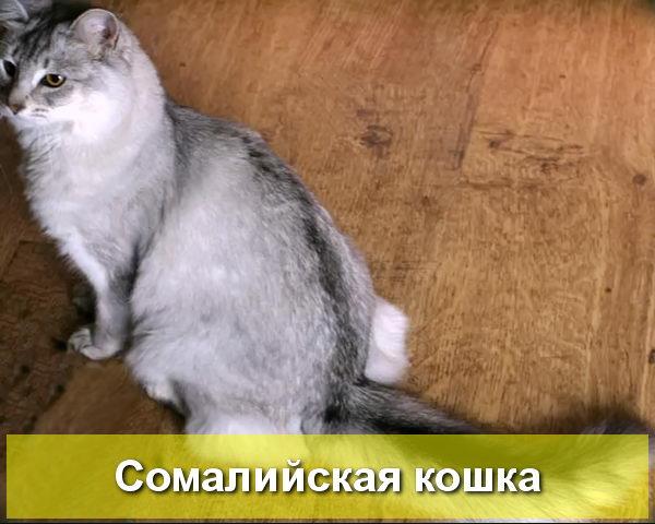 серебристая сомалийская кошка
