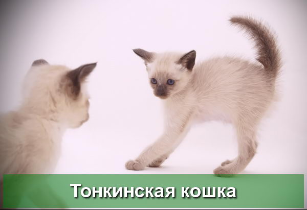 Окраска шампань у тонкинских котят